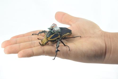 How Giant Flower Beetles and Wireless Technology Can Save Lives
